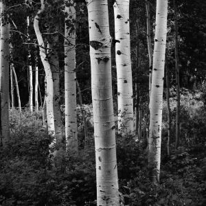 Silver birch trees, Solitude, Utah