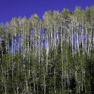 Silver birch trees, Wasatch Mountains, Utah.