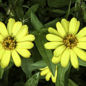 Yellow Zinnia, Green Spring Garden, Virginia.